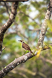GALAPAGOS ISLANDS, ECUADOR, Tangus Cove, a bird seen in a tree on the NW side of Isabela Island