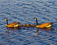 "A family of Canada Geese (Branta canadensis) with 5 chicks is swimming on a lake that is rendered from inspiration from Van Gogh's ""Starry Night"" painting.  The water has ripples and waves that mimic paintbrush strokes.  Photo taken at sunset during golden hour in the Ridgefield National Wildlife Refuge."