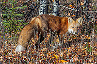 Red Fox (Vulpes vulpes) walks through fall leaves near the Yukon/British Columbia border.  Sept.