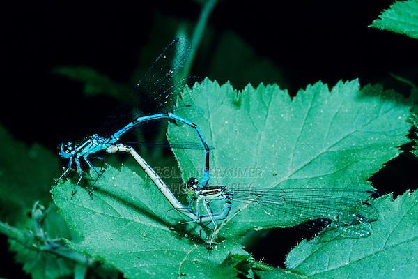 Azure Damselfly, Coenagrion puella, pair mating, Zug, Switzerland, June 1993