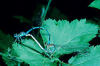 Azure Damselfly, Coenagrion puella, pair mating, Zug, Switzerland, June 1993