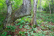 Bent yellow birch tree in Lafayette Brook Scenic Area in the White Mountains, New Hampshire USA during the summer months