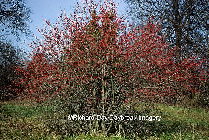 63808-00818 Washington Hawthorn (Crataegus phaenopyrum) with berries in fall   IL