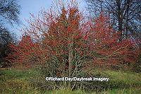 63808-00818 Washington Hawthorn (Crataegus phaenopyrum) with berries in fall   IL
