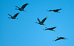 March 11, 2016 - Monte Vista, Colorado, U.S. -  At dusk, Sandhill Cranes fly over southern Colorado's Monte Vista National Wildlife Refuge.<br /> <br /> Each year more than 20,000 Sandhill Cranes migrate through the wetlands of the San Luis Valley's Monte Vista National Wildlife Refuge, Monte Vista, Colorado.  The Rocky Mountain population of the Greater Sand Hill Cranes spends more time in the San Luis Valley than at either of their wintering or breeding grounds.  The peak springtime migration is mid-March.
