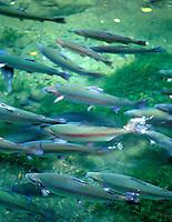 Large Rainbow Trout at Cascsade Locks Fish Hatchery, Oregon