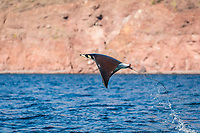 Adult Munk's pygmy devil ray, Mobula munkiana, leaping near Isla Danzante, Baja California Sur, Mexico.