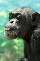 Chimpanzee at Zoorasia, Yokohama, Kanagawa, Japan. Friday October 10th 2014