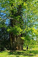 France, Haute-Vienne (87), Saint-Sulpice-les-Feuilles, hameau de Virvalais,  un des deux châtaigniers Petits-Jean estimés à 560 ans, circonférences des troncs 7,40m et 9,30m // France, Haute Vienne, Saint-Sulpice-les-Feuilles, Virvalais hamlet, one of the two sweet chestnut tree Petits Jean 560 years old