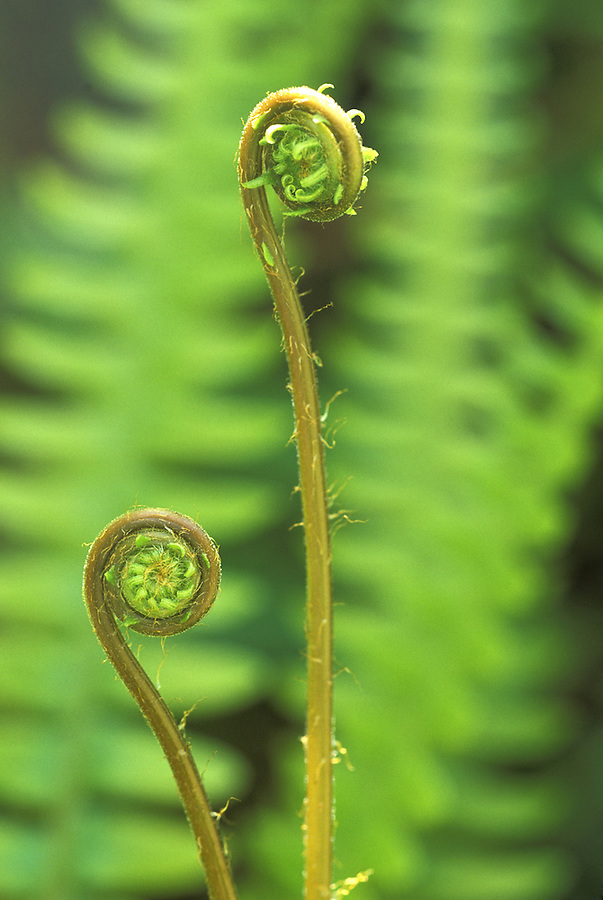 Western sword Fern (Polystichum munitum) frond unfurling, Olympic National Park, Washington