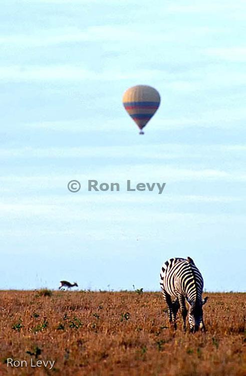 Zebra, tik-tik and balloon, Masai Mara, Kenya, Africa