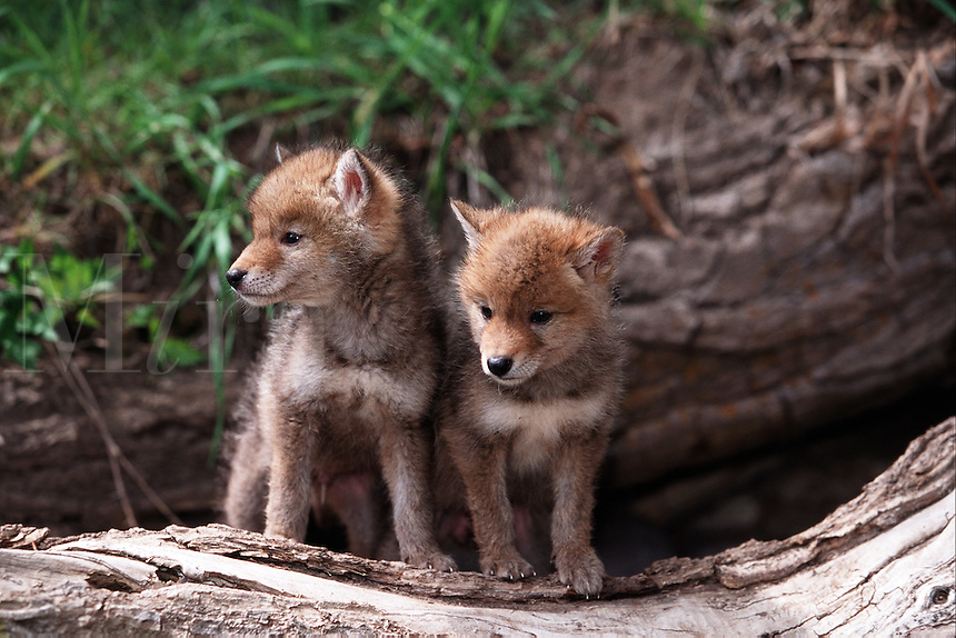 Two coyote pups peer out from the safety of their den.