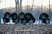 00845-01107 Eastern Wild Turkey (Meleagris gallopavo silvestris) gobblers strutting, Stephen A. Forbes SP,  Marion Co.  IL