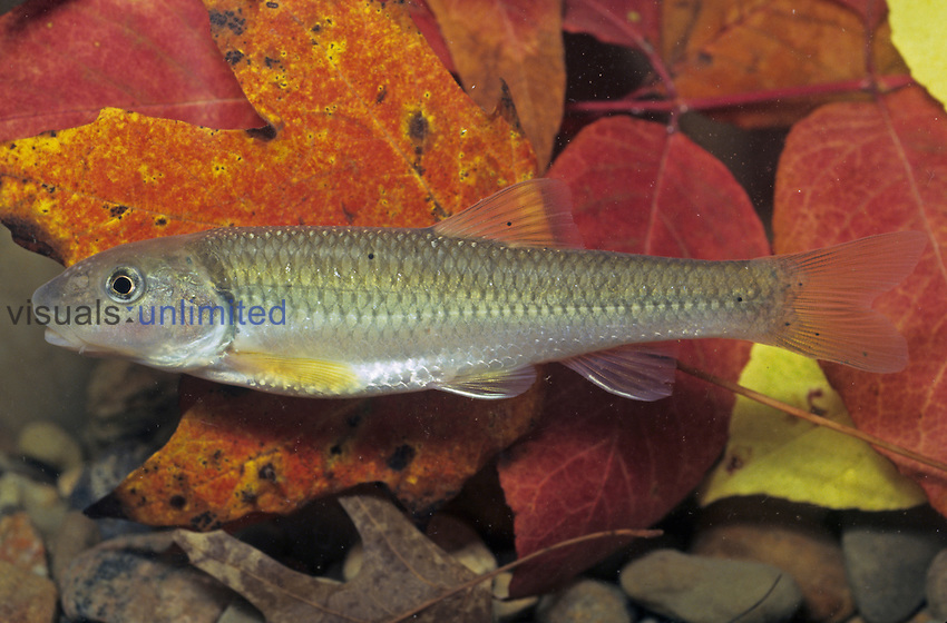 River Chub (Nocomis micropogon), Ohio, USA.