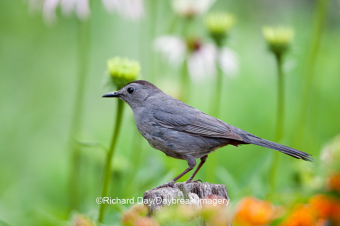 01392-03519 Gray Catbird (Dumetella carolinensis) on fence post in flower garden, Marion Co., IL