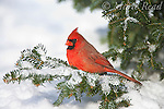 Northern Cardinal (Cardinalis cardinalis) male perched in snow-covered fir in winter, New York, USA
