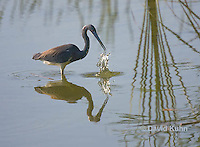 0830-0916  Tricolored Heron Wading in Marsh, Striking Water for Prey, Louisiana Heron, Egretta tricolor © David Kuhn/Dwight Kuhn Photography