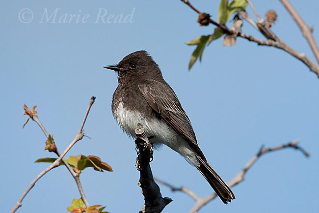 Black Phoebe (Sayornis nigricans), adult, California, USA