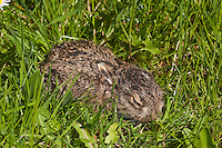 Junger Feldhase, Feld-Hase, Feld - Hase, Lepus europaeus, Jungtier auf Wiese, hare, hares