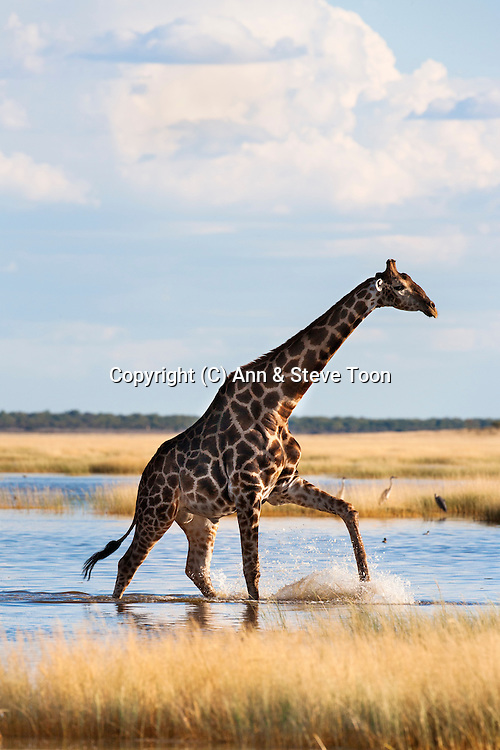 Giraffe, Giraffa camelopardalis, wading through seasonal water, Etosha National Park, Namibia