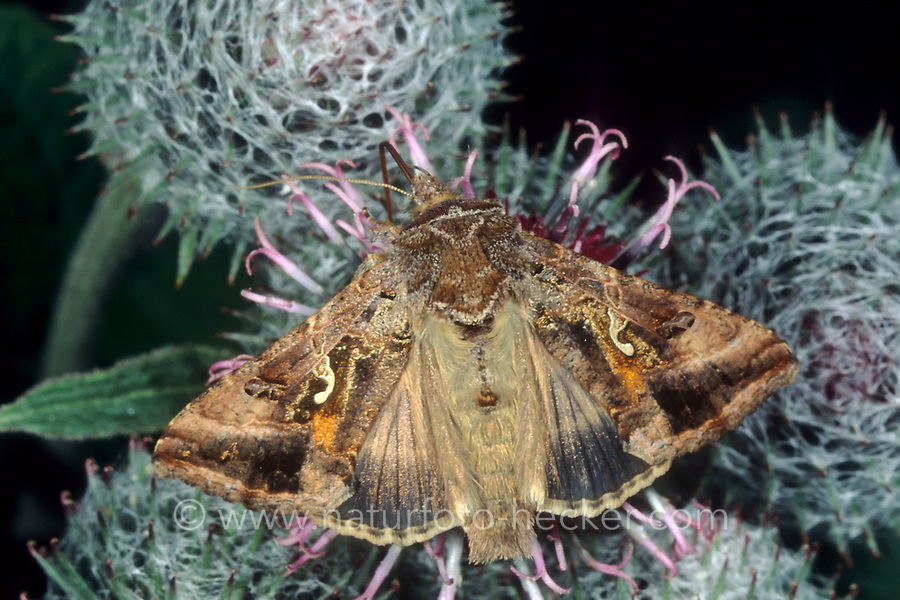 Gammaeule, Gamma-Eule, Pistoleneule, Autographa gamma, Silver Y, le Gamma, Noctuelle gamma, Eulenfalter, Noctuidae, noctuid moths, noctuid moth