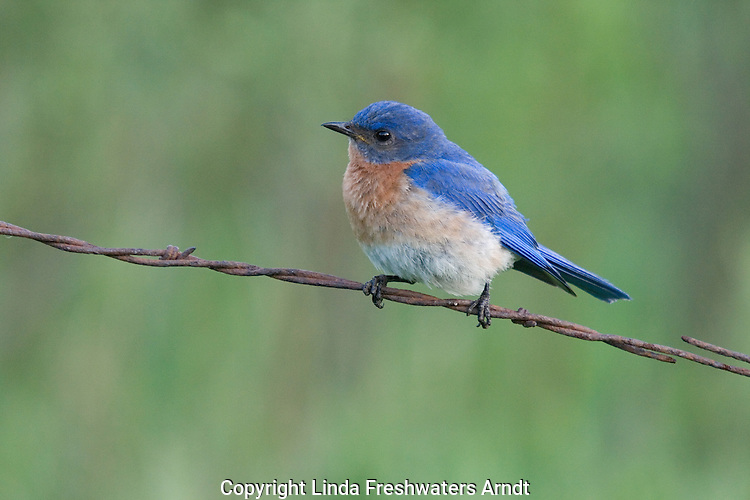 Male eastern bluebird perched on a old barbed-wire fence