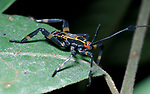 Assassin Bug, on leaf, Belize