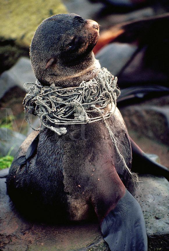 Northern fur seal entangled in fishing net, Alaska