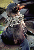 Northern fur seal entangled in fishing net, Alaska