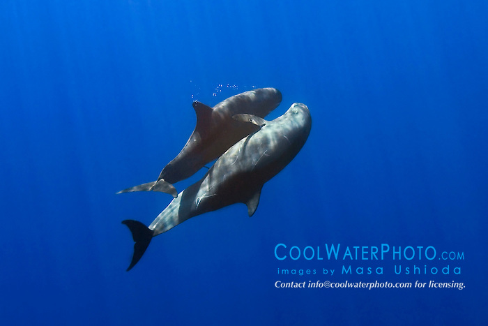 pygmy killer whales mating, Feressa attenuata, off Kona Coast, Big Island, Hawaii, Pacific Ocean..