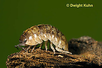 1Y33-610z  Pillbug or Roly Poly moving among decomposing decaying forest litter, Armadillidum vulgare