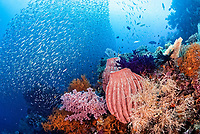coral reef, Andiamo dive site, Misool, Raja Ampat Islands, Dampier Strait, West Papua, Indonesia, Pacific Ocean