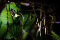 Female glow-worm (Lampyris noctiluca) displaying in bramble thicket. Arne, Dorset, UK.