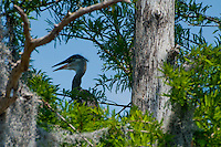 Brown Pelican (Pelecanus occidentalis), Blue Cypress Lake, Vero Beach, Florida, US