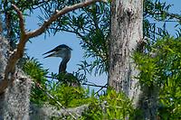 Brown Pelican (Pelecanus occidentalis), Blue Cypress Lake, Vero Beach, Florida, US