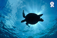 Silhouette of a Green Sea Turtle (Chelonia mydas)  (Licence this image exclusively with Getty: http://www.gettyimages.com/detail/88015564 )