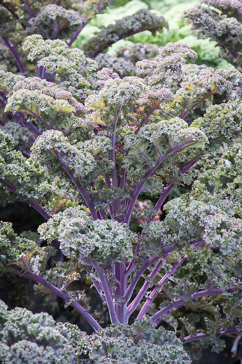 Kale 'Redbor', early September. A variety with purple-veined, tightly curled leaves that turn crimson in cooler weather.