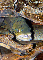 "1215-0904  Brown trout or Sea trout Hiding Under Log, (Salmo trutta fario) ""Introduced species to the United States from Europe"" © David Kuhn/Dwight Kuhn Photography"
