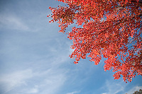 Autumn Maple Leaves, Round Valley Reservoir, Hunterdon County, New Jersey