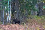 A bull moose heading into heavy timber in autumn. Kaniksu National Forest, Idaho.