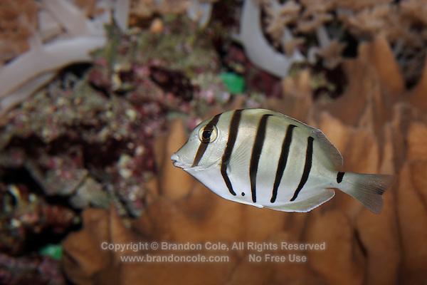 QX1099-D. Convict Tang (Acanthurus triostegus), aquarium photo.<br /> Photo Copyright &copy; Brandon Cole. All rights reserved worldwide.  www.brandoncole.com