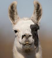 Llama head; Lama glama; TX,
