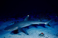 A whitetip reef shark, Triaenodon obesus, cruises over a sand patch at Molokini Island, Hawaii.