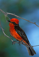 Vermilion Flycatcher, Big Bend National Park, Texas