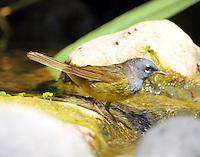 Male MacGillivray's warbler