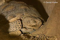 0609-1020  Desert Tortoise Sleeping in Underground Burrow to Rest and Escape Heat (Mojave Desert), Gopherus agassizii  © David Kuhn/Dwight Kuhn Photography