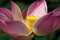 Lotus Garden, Ubud Bali