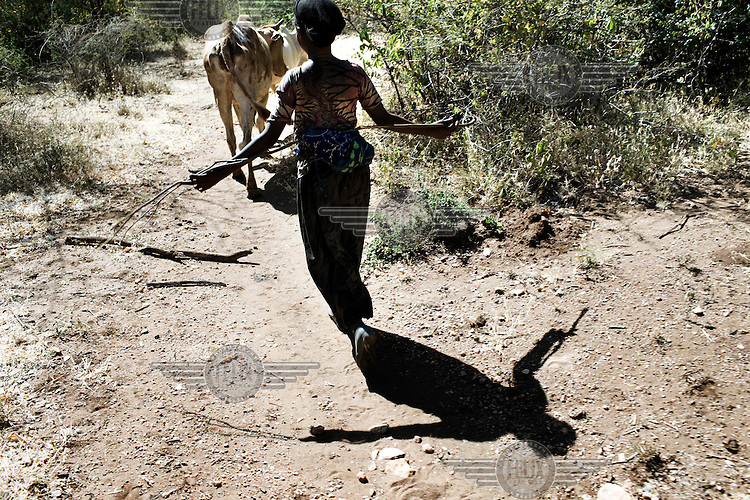 A young girl herds cattle.