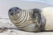 Southern Elephant Seal pup - Mirounga leonina - cow