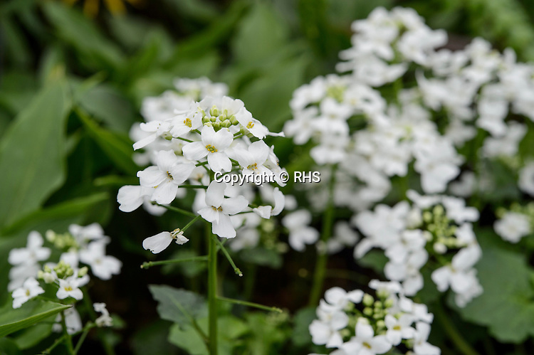 Pachyphragma macrophyllum / Tale Valley Nursery in the Floral Marquee at the RHS Show Cardiff 2016.